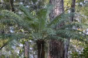 native-cycad.jpg